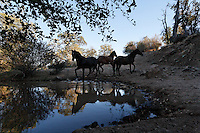 Mustangs warily approach the water hole at the Wild Horse Sanctuary where there are 300 horses roaming free on 5,000 acres.