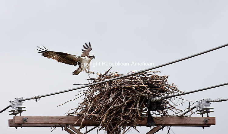 BEACON FALLS CT-MAY 09 2013- 0050913DA08- A new site of osprey has been monitored at Toby's Pond in Beacon Falls. This is not the same osprey that CL&P uprooted last April. The town is working to highlight Toby's Pond, and possibly work to relocate the osprey site..Darlene Douty Republican American