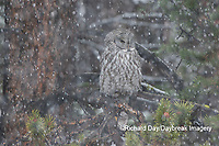 01128-00111 Great Gray Owl (Strix nebulosa) in snowstorm, Yellowstone National Park, WY