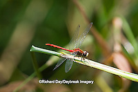 06660-00107 White-faced Meadowhawk dragonfly (Sympetrum obtrusum) male, Jo Daviess Co.,  IL