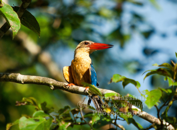 The Stork-billed Kingfisher, Pelargopsis capensis (formerly Halcyon capensis), is a tree kingfisher which is widely but sparsely distributed in tropical south Asia from India and Sri Lanka to Indonesia. This kingfisher is essentially resident throughout its range.