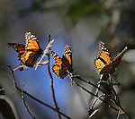 The monarch butterflies at Ardenwood Regional Park District, Fremont.