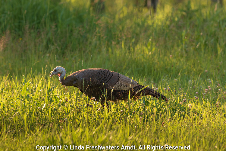 Hen turkey feeding in a summer meadow in northern Wisconsin.