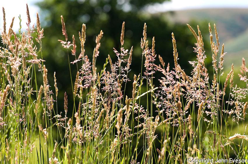 Grasses on a verge. Lancashire..Copyright..John Eveson, Dinkling Green Farm, Whitewell, Clitheroe, Lancashire. BB7 3BN.01995 61280. 07973 482705.j.r.eveson@btinternet.com.www.johneveson.com