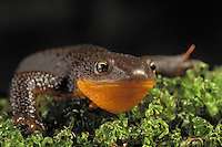 Rough-Skinned Newt. .Pacific Coast of North America, Alaska to California. .(Taricha granulosa).