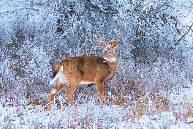 Whitetail buck in snow in Montana