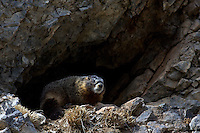 Marmot, Snake River Range
