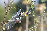 Wespenspinne, Zebraspinne, Argiope bruennichi, Spinne in ihrem Netz mit einer Libelle als Beute, black-and-yellow argiope, black-and-yellow garden spider