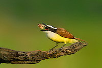 554810198 a wild great kiskadee pitangus sulphuratus feeds on a water bug at laguna seca ranch edinburg texas united states