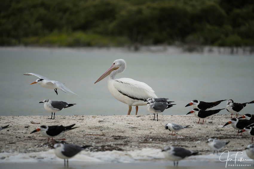 An American White Pelican, Pelecanus erythrorhynchos, Black Skimmers, Rynchops niger, Laughing Gulls, Leucophaeus atricilla, and other terns at the Ria Lagartos Biosphere Reserve, a UNESCO World Biosphere Reserve in Yucatan, Mexico.