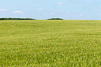 27.5.2020 Winter barley growing in Rutland   <br /> ©Tim Scrivener Photographer 07850 303986<br />      ....Covering Agriculture In The UK.