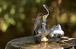 Audubon's Warbler drinking from water fountain Southern California