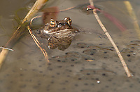 Common Toad ,  Bufo bufo, with spawn in a farm pond, Chipping, Lancashire.