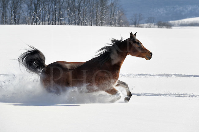 Horse running in deep powder snow and back lit iby sunlight, speed and strength, Arabian horse in Pennsylvania, PA, USA.