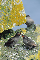 Crested auklet on the cliffs of St. Paul Island, Pribilof Islands, Alaska.