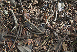 Leaf litter from oak trees in ancient primeval Staverton forest, Suffolk, England