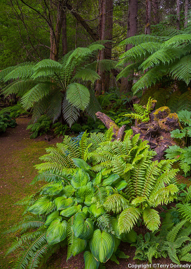 Vashon Island, WA: Hostas and ferns on the edge of the pathway of the Stumpery Garden with tree ferns (Dicksonia antarctica) and alder trees in the forest background