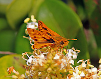 Fiery skipper at blooming ligustrum