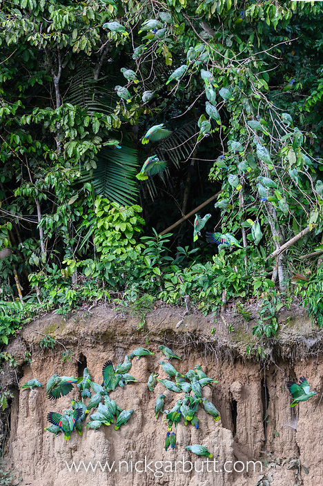 Flock of Mealy Parrots (Amazona farinosa) and Blue-headed Parrots (Pionus menstruus) gathered above and feeding at the wall of a clay lick (Blanquillo). Manu Biosphere Reserve, Amazonia, Peru.