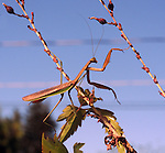 Praying Mantis visit to our porch in Saugerties, NY on Tuesday, October 8, 2013. Photo by Jim Peppler. Copyright Jim Peppler 2013 all rights reserved.