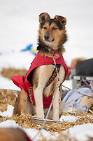 Aliy Zirkle dog keeps watch while the rest of team sleeps at Takotna during Iditarod 2009