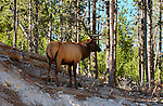 Elk atop Gibbon River Slope, Yellowstone National Park, Wyoming