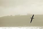 Gibson's Albatross (Diomedea antipodensis gibsoni) gliding over ocean near coast, Kaikoura, South Island, New Zealand