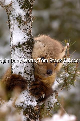 American Pine Marten, Martes americana,