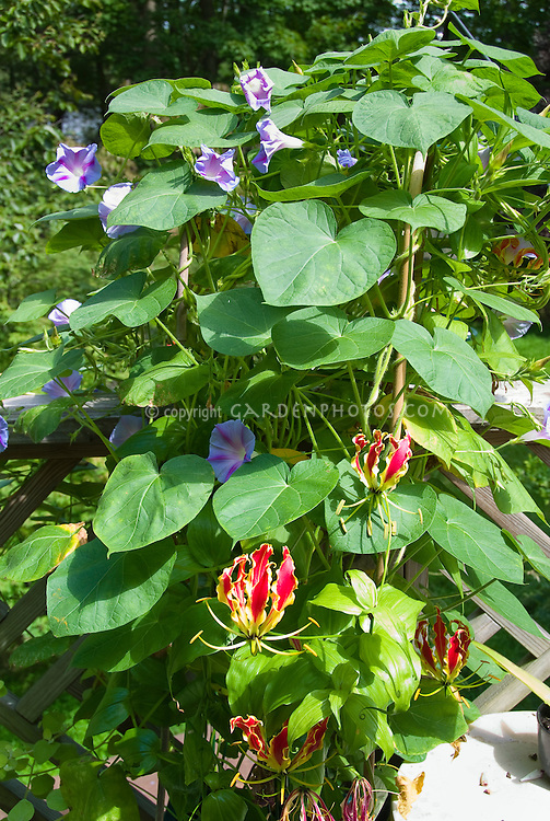 Gloriosa superba 'Rothschildianum' summer flowering climbing vine bulb growing together with morning glory Ipomoea purpurea, two different vines together