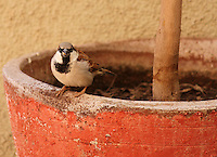 Stock image of house sparrow sitting on the edge of of a plant pot in the backyard.