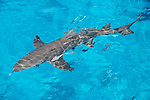 Tiger Beach, Grand Bahama Island, Bahamas; a lemon shark swimming at the water's surface, viewed from the top deck of the boat