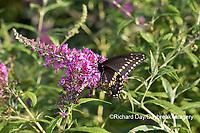 03009-01918 Black Swallowtail (Papilio polyxenes) male on Butterfly Bush (Buddleja davidii) Marion Co. IL