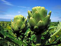 Artichoke plant in field with blue sky in background.