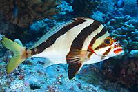 hawaiian Morwong, Cheilodactylus vittatus, Pearl and hermes atoll, Papahanaumokuakea Marine National Monument, Northwestern Hawaiian Islands, Hawaii, USA, Pacific Ocean