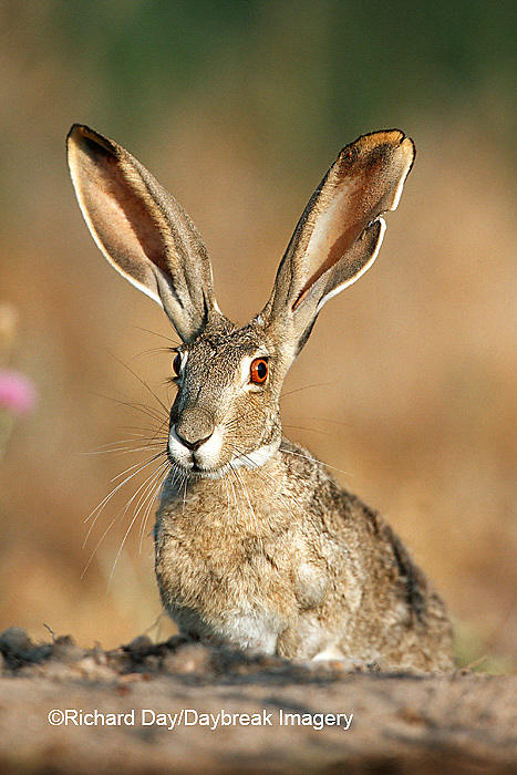 02203-004.12 Black-tailed Jack Rabbit (Lepus californicus) Starr Co.  TX