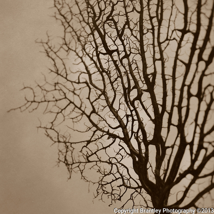 Fine art photography of sea fans in sepia tones