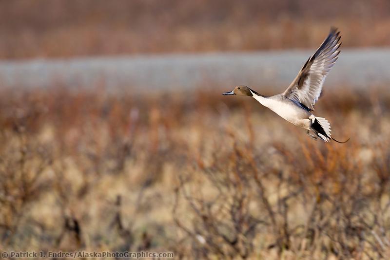 Northern pintail duck takes flight, Alaska Range, Interior, Alaska.