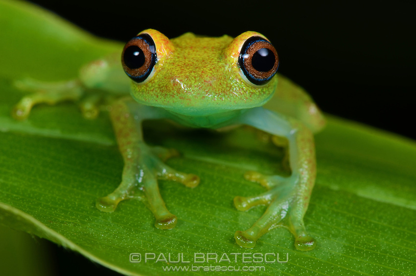Green Bright-Eyed Tree Frog (Boophis Viridis) Madagascar.