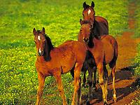 Arabian foals with mare. Curiosity freshness wonder. horse, horses, animals.