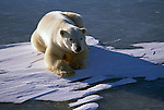 A polar bear lays on ice in the sun in Wapusk National Park, Manitoba, Canada.