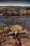 A green sea turtle in the shallow tidepools of the Big Island, Hawaii, USA.