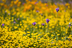 California wildflowers with yellow daisies and purple flowers