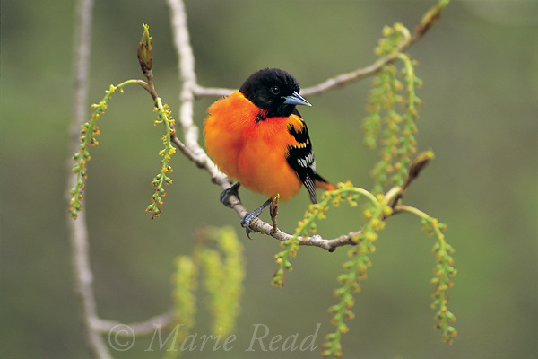 Baltimore Oriole (Icterus galbula) male perched with catkins in spring, New York, USA<br /> Slide # B166-08