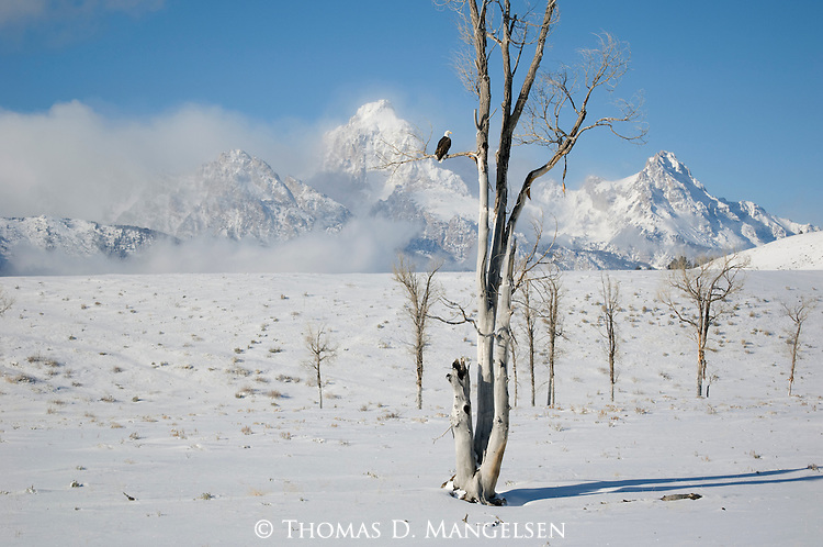 Bald eagle perched on a tree branch in front of the Tetons in Grand Teton National Park, Wyoming.