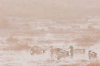 Ducks--mallards and American wigeon--on foggy fall morning.