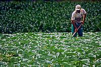 Trabalho de agrilcultor em plantaçao de hortaliça. Urubici. Santa Catarina. 2011. Foto de Andre Arcenio.