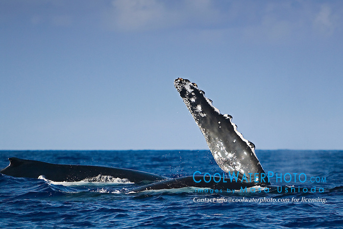 Humpback Whale pec-slapping, Megaptera novaeangliae, Big Island, Hawaii, Pacific Ocean
