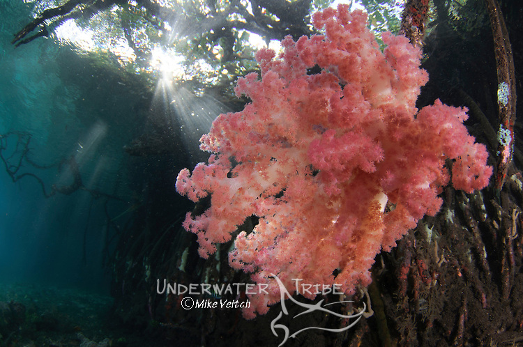 Dendronephthya sp., Raja Ampat, West Papua, Indonesia, Pacific Ocean