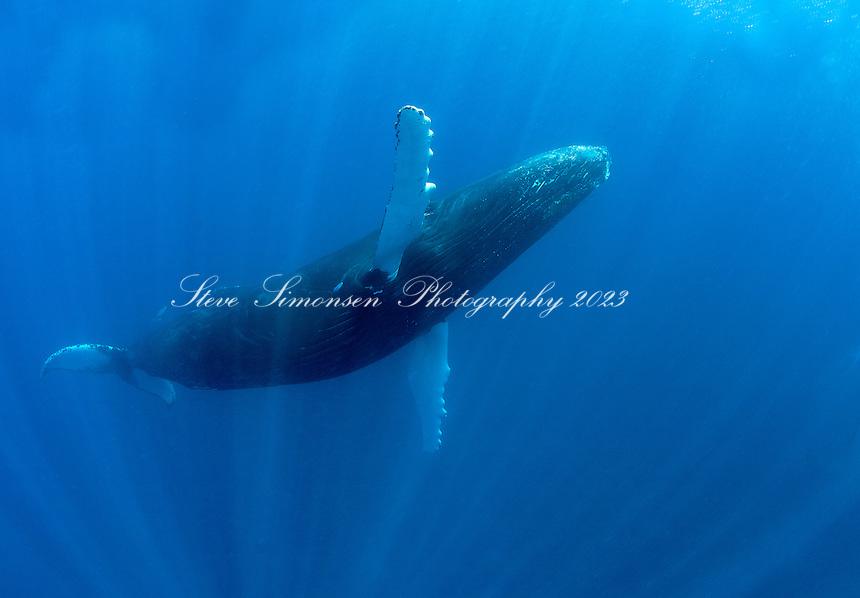 Humpback Whale<br /> Silver Bank<br /> Domincan Republic