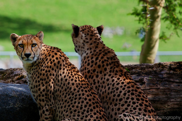 Two cheetahs sitting